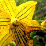 Cañete: redescubren orquídea extinta medio siglo