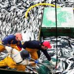 Produce: espectacular avance de la pesca de anchoveta en región norte-centro