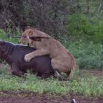 YouTube: mamá hipopótamo defiende cría y hace correr a león