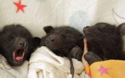 Facebook sorprende hoy con fotos de un hospital veterinario ubicado en Australia que atiende a decenas de crías de murciélagos huérfanos.