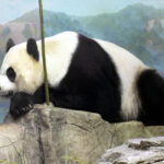 China: Muere un quinto oso panda gigante por virus del moquillo