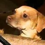 La Victoria: denunciarán a inquilino que abandonó a perros (VIDEO)