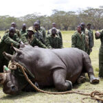 Namibia: hallan otros 31 cadáveres de rinocerontes
