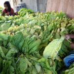 EEUU: trabajo infantil no cesa en las plantaciones de tabaco