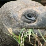 Galápagos: Las tortugas gigantes prefieren comer plantas invasoras