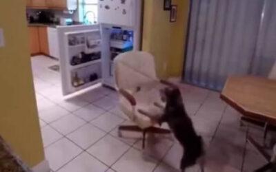 Un video de YouTube muestra a un perro casero robando los alimentos de la congeladora de su hogar de una curiosa manera. El dueño que veía cómo desaparecían los alimentos de su refrigerador decidió colocar una cámara escondida.