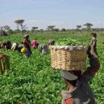"""Brasil: el """"gigante agrícola"""" se rinde a los cultivos transgénicos"""