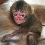 Japón: zoológico se retracta tras llamar Carlota a cría de mono