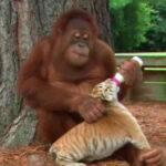 YouTube: oranguntán adopta a tres tigres (VIDEO)