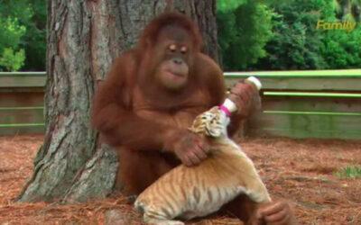 Youtube muestra a un orangután que se ha hecho popular en la plataforma de Google, luego de adoptar a tres cachorros de tigres.