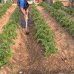 Bolivia: Justicia indígena condena a un fiscal a cosechar papas