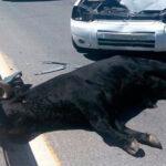 Toro escapa de encierro, hiere a 11 personas y muere atropellado