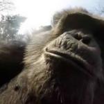 Estudio revela que a los chimpancés les gusta el alcohol