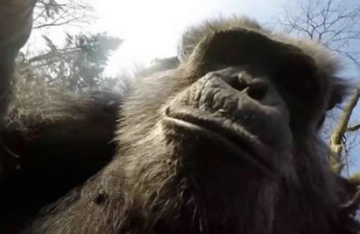 LONDRES.- Un estudio propalado hoy miércoles en el Reino Unido asegura que los chimpancés que se encuentran libres en África occidental beben alcohol de forma voluntaria, algo que hasta ahora solo se conocía en los humanos.