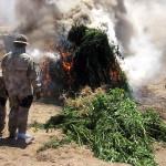 Policía Nacional incinera 15.000 plantas de marihuana