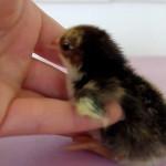 YouTube: mira cómo este pollito busca a su mamá