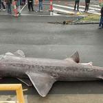 """Australia: atrapan """"tiburón monstruo"""" de más de 6 metros (FOTOS)"""