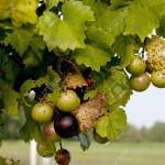 Aceite de pepitas de uva muscadine ayuda a reducir la obesidad