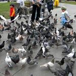 EsSalud: palomas ocasionan asma y bronquitis crónica