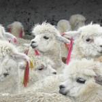 Junín: Promueven importancia de la fibra de alpaca