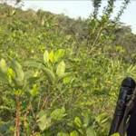 Perú redujo cultivos de hoja de coca a 42.900 hectáreas en 2014