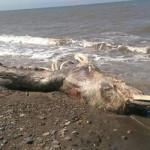 Rusia: extraña criatura marina desconcierta a científicos (VIDEO)