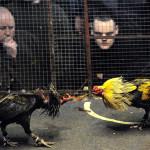 Francia: avalan prohibición de abrir lugares para peleas de gallos