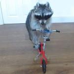 YouTube: mapache Melanie maneja una bicicleta (VIDEO)