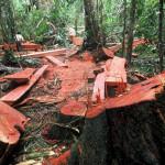 Tala ilegal : detienen a 7 en reserva más grande de la Amazonía