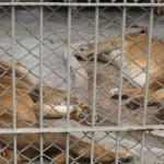 Parque de Las Leyendas: Castañeda dice que animales están gordos