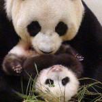 Osa panda finge estar embarazada para lograr privilegios