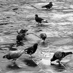 Callao: invasión de palomas atenta contra salud pública