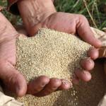INIA produce más de 100 toneladas de semillas para enfrentar sequías