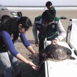 Tacna: salvan a tortuga marina en peligro de extinción