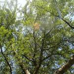 EEUU: piden clonar árbol de 2.000 años uno de los más viejos del mundo