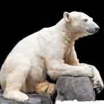Oso polar Knut sufrió un tipo de encefalitis solo asociada a humanos
