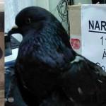 Costa Rica: narcopaloma pasará resto de su vida en cautiverio