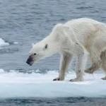 Facebook: foto de osa polar desnutrida alerta sobre el cambio climático