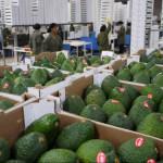 China: primer cargamento de paltas peruanas llega al mercado chino