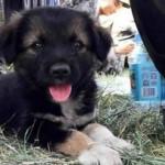 Tianjin: perrito sobreviviente de explosión es furor en internet