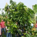 Colombia: científicos descubren 14 genomas de cacao en cultivos