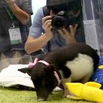 La moda de las mascotas modificadas por la ciencia