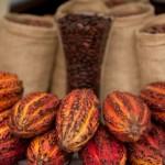 Valle del Sión: familias se benefician con cultivos de cacao