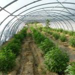 Jamaica: Autorizan cultivo de marihuana a una empresa privada