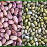 Brasil y México desarrollan variedad de frejol más rica en vitamina B9