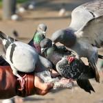 San Isidro multará con S/. 385 a quienes alimenten palomas