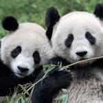 China: presentan 13 bebés panda entre ellos 6 parejas de gemelos