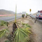 Panamericana Sur: Denuncian tala de más de 300 árboles