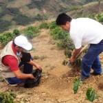 Piura: Impulsan desarrollo de cadenas productivas del café
