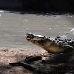 EEUU: Permiten a mujer convivir con cocodrilo de casi 2 metros en su casa